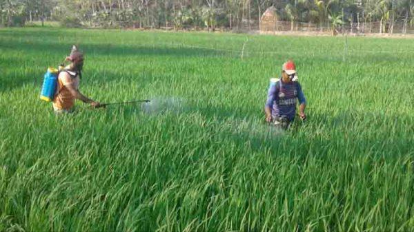 কলাপাড়ায় বোরো ধান পরিচর্যায় ব্যস্ত কৃষক