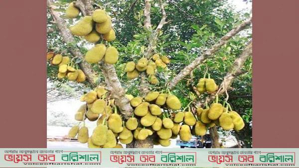 গাছে গাছে রসভরা সুস্বাদু কাঁঠাল