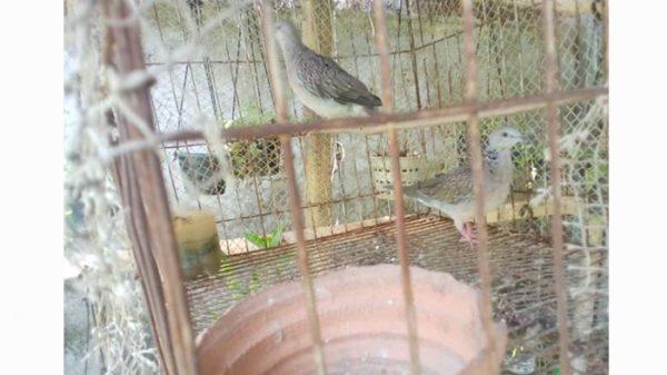 পটুয়াখালীতে অভিযান : উন্মুক্ত জীবন পেল আরো ৬টি পাখি