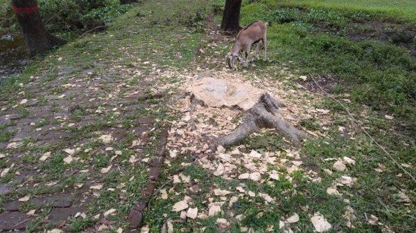 কলাপাড়ায় মাদ্রাসায় ফান্ড নেই, তাই কাটা হলো সৌন্দর্য বর্ধণের গাছ